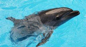 الدلافين تستخدم في ح
