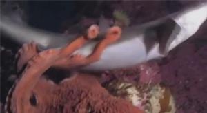فيديو نادر لأخطبوط ي