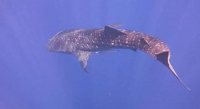 قرش الحوت