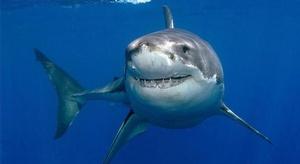 سمك القرش يعتدي أكثر