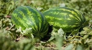 7 فوائد لبذور البطيخ