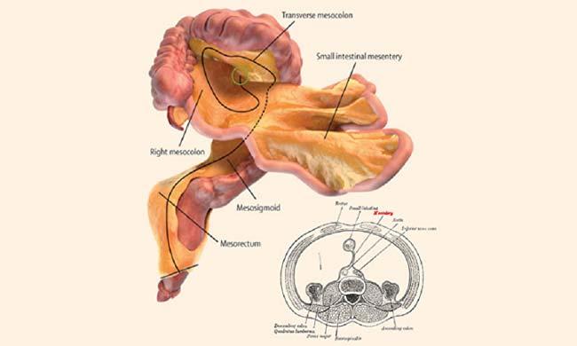 اكتشاف عضو جديد في بطن الإنسان